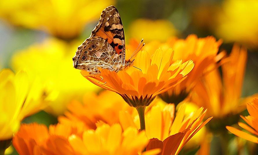Schmetterling auf einer Ringelblume
